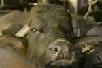 Sospiro di sollievo per gli allevatori di Enna, rientra l'allarme tubercolosi bovina