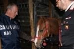 Corse clandestine, 10 cavalli sequestrati a Vittoria e Acate