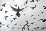 Sempre più colombi nelle città In Sicilia esemplari in aumento