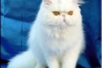 Gatti di razza negli appartamenti I persiani sono i più venduti in Sicilia