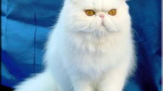 Gatti Di Razza Negli Appartamenti I Persiani Sono I Più Venduti In