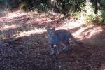 Gatto siciliano, esemplare unico Ma adesso è a rischio estinzione