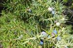 Diete con gramigna o ginepro: le erbe per la prova costume