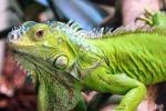 Iguana vaga a Borgo Nuovo a Palermo, catturata dalla forestale
