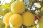 Limone di Siracusa, piace a Dior: ora vuol conquistare le tavole
