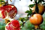 Melograni per rilanciare l'agricoltura Marsala punta a conquistare l'Europa