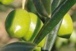 Le olive «dop» della Valle del Belice approdano negli scaffali di Esselunga