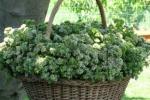La Sicilia una terra di aromi: tutti pazzi per origano e salvia