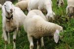 Pecore sbranate, è giallo nel Catanese