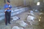 Ciminna, diciassette pecore sgozzate in una stalla