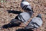 Patti invasa dai piccioni