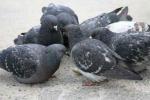 Leonforte, è sempre più emergenza piccioni