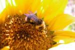 Polline, allergie in aumento