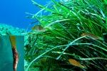 Egadi, la Posidonia cresce sui relitti sommersi