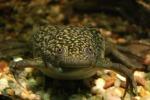 Le rane «aliene» dall'Africa Laghetti della Sicilia colonizzati