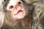 Scimmia partorisce tre cuccioli a Palermo