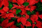 La magia della Stella di Natale In Sicilia tradizione che resiste