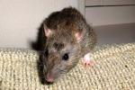 Marsala, dall'albero cade un topo su una turista: è polemica