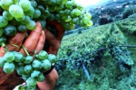 Vendemmia, calo record in Sicilia