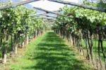 Rallo: «Siciliani allergici alle lingue, aziende vitivinicole assumono stranieri»
